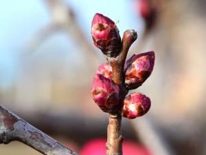 Temperaturile sub limita înghețului din ultimele trei nopți pot afecta mugurii timpurii ai copacilor