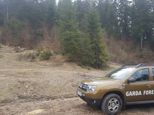 Inspectorii Gărzii Forestiere Suceava au reușit să descopere tăieri ilegale de arbori în valoare de 90.000 de lei