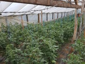 Din cauza temperaturilor scăzute, tomatele nu au putut ajunge la maturitate