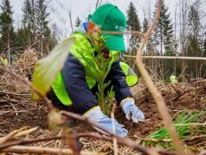 În trei ani au fost plantați peste 600.000 puieți prin programul de reîmpădurire Pădurea de Mâine