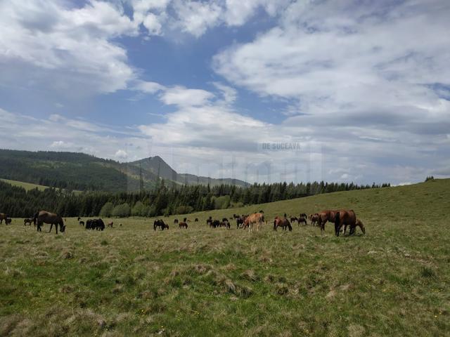 Caii pasc liberi pe pășunile de munte