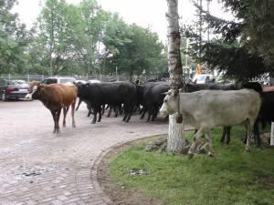 Fermierii de la Marginea se declară ajunși la exasperare şi au venit cu vacile la primărie, chiar daca sunt conștienți că pot fi amendați