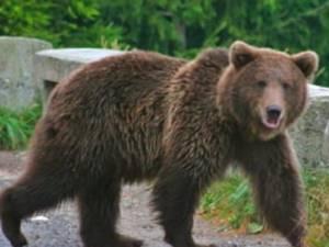 Jandarmii au fost solicitați pentru îndepărtarea unui urs