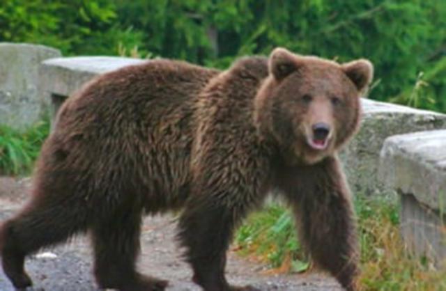 Jandarmii au fost solicitați pentru îndepărtarea unui urs, la Grănicești