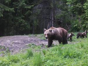 O ursoaică cu pui a fost văzută în mai multe rânduri în zona Todirești