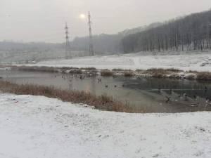Foarte mulți cormorani pe râul Suceava   Foto Ovidiu Nistor