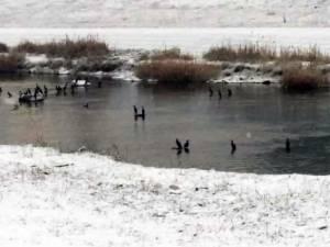 Cormorani mai mulți ca niciodată decimează populația de pește de pe râul Suceava