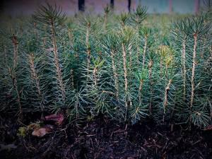 Peste 65 milioane puieți au fost produși în ultimii cinci ani de către silvicultorii suceveni, în pepinierele proprii