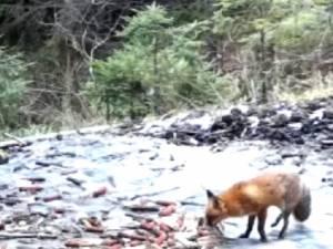 Momentul în care o vulpe își marchează teritoriul, surprins în imagini video la Brodina