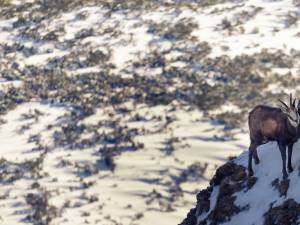 Caprele negre din masivul Ceahlău - foto Cătălin Urdoi 8