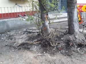 Arborii de la Direcția de Drumuri a Consiliului Județean Suceava au fost tăiați cu acte în regulă
