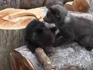 Puii de urs, fără mamă, găsiți pe raza Ocolului Silvic Crucea
