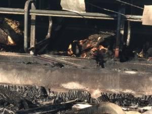 Peste 30 de vaci au ars de vii la o fermă din Bosanci. Primarul este asociat în afacere