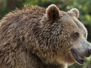 """Un urs de 400 de kg, """"pieton"""" la Pojorâta pe drumul european 58 Foto zoobrasov.ro"""