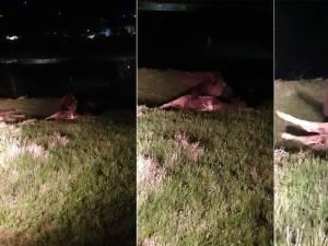 Ursul de la Pojorâta, filmat în timp ce devora un vițel
