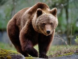 Un urs a intrat în Vatra Dornei, unde a distrus garduri și a înșfăcat un porc Foto stirileprotv