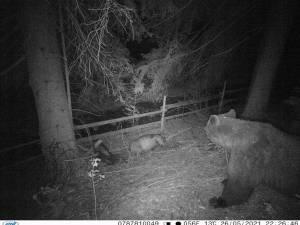 Imagine cu ursul revenit la Vatra Dornei