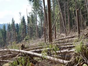 Banii vor fi investiţii în echipamente pentru îndepărtarea lemnului afectat de fenomenele meteo extreme şi dăunătorii biotici, cum este gândacul de scoarţă