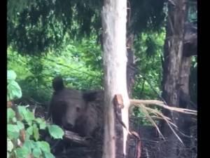 Ursoaica captivă într-un laț metalic, la Broșteni