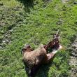 Ursul a sfârtecat două oi chiar sub nasul unui adolescent de 17 ani