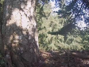 Zenit, puiul de acvilă de munte, filmat de cand era proaspat iesi din ou, pina cand a invatat sa zboare