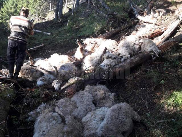 Imagini de coșmar în urma atacului lupilor de la Cârlibaba