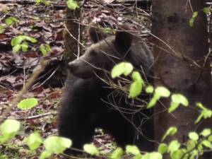 Întâlnire cu un urs, filmată de un ranger în Parcul Călimani