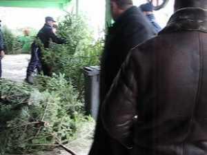Scandal-monstru la confiscarea unor brazi de Crăciun