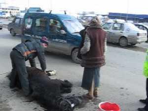 Cal în agonie în plină stradă