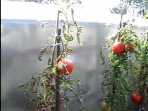 Rosii uriase in gradina unui medic din Frasin