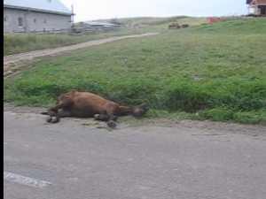 Povestea calului subnutrit, bătut şi lăsat să moară în stradă, şi a autorităţilor incompetente