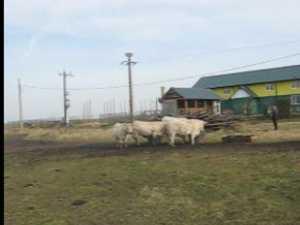 Vaci franceze, de carne, reteta de succes pentru fermierii din Bucovina