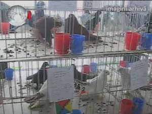 Expoziţie de iepuri şi găini uriaşe, sute de porumbei, fazani, păuni, bibilici şi raţe