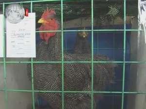 Zeci de rase de porumbei, sute de găini de toate felurile şi iepuri uriaşi, la expoziţie în Burdujeni