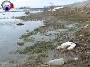Imagini sinistre: Berze moarte pe malul râului sau vii, mâncând şobolani la groapa de gunoi