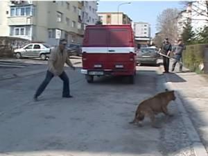 """""""Vânătoare""""de câini vagabonzi în Obcini"""