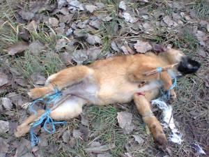 Vulpi şi câini chinuiţi, apoi ucişi cu sadism şi expuşi la marginea drumului