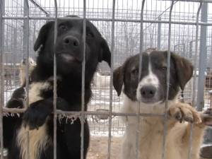 250 de câini au fost sterilizaţi gratuit la adăpostul din lunca Sucevei