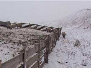 Turma de oi a unui crescător din Mihoveni, decimată de fiare sălbatice