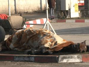 Un cal sleit de puteri a căzut pe drumul naţional-european de la intrarea în Suceava
