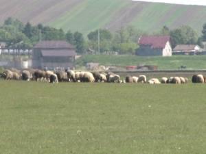 Un consilier local acuză nereguli grave în urma licitaţiilor pentru 380 de hectare de păşune în oraşul Liteni