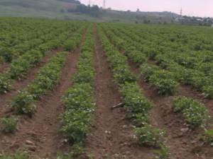 Culturile agricole din Suceava, grav afectate de secetă