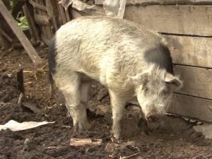 Panică în Vadu Moldovei. Un porc agresiv atacă animalele întâlnite în cale