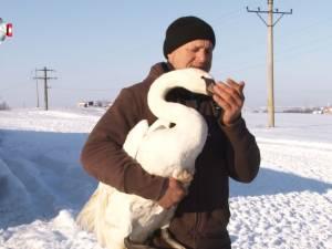 O lebădă găsită aproape îngheţată pe malul râului Suceava a fost salvată de un bărbat din Ipoteşti