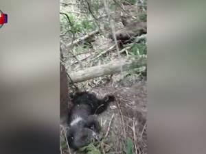 O ursoaică și doi pui găsiți morți pe un fond cinegetic din zona Dorna