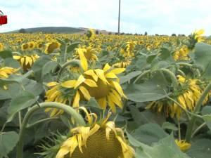 Floarea-soarelui câştigă tot mai mult teren în Suceava: 3.000 de hectare urmează a fi recoltate în judeţ