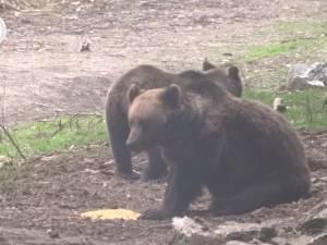"""Doi urși, filmați cum iau """"picnicul"""" în natură, la Broșteni"""