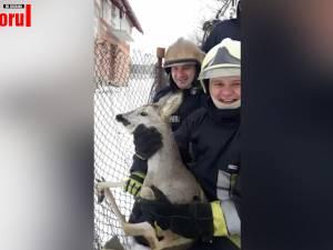 Căprioară salvată de pompieri, după ce s-a agățat într-o plasă de gard la Siret