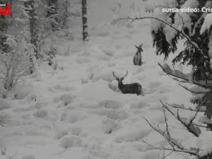 Trei cerbi care înfruntă cu greu stratul gros de zăpadă, filmați în Călimani