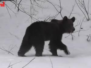 Imagini inedite cu un urs abia ieşit din hibernare în Parcul Naţional Călimani